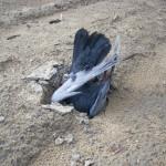 Il piccione kamikaze