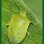 El Sìmise (la Cimice Verde)