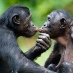 Una vita da bonobo